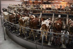 Cows forced into milk collecting maching at dairy farm
